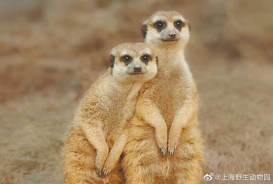 上海野生動物園、鮮花港、上海海灣國家森林公園等戶外景區受遊客歡迎。(取自新浪微博@上海野生動物園)