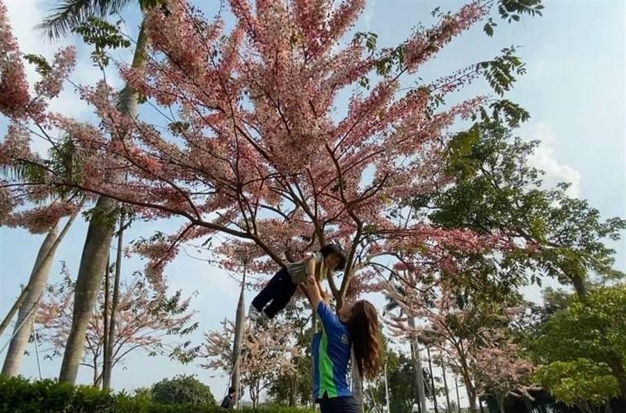 台南市山上花園水道博物館花園區一度是苗圃,目前花旗木正開始怒放,搭配兩旁高聳的大王椰子,成為網美拍照打卡新景點。(台南市文化局提供/劉秀芬台南傳真)