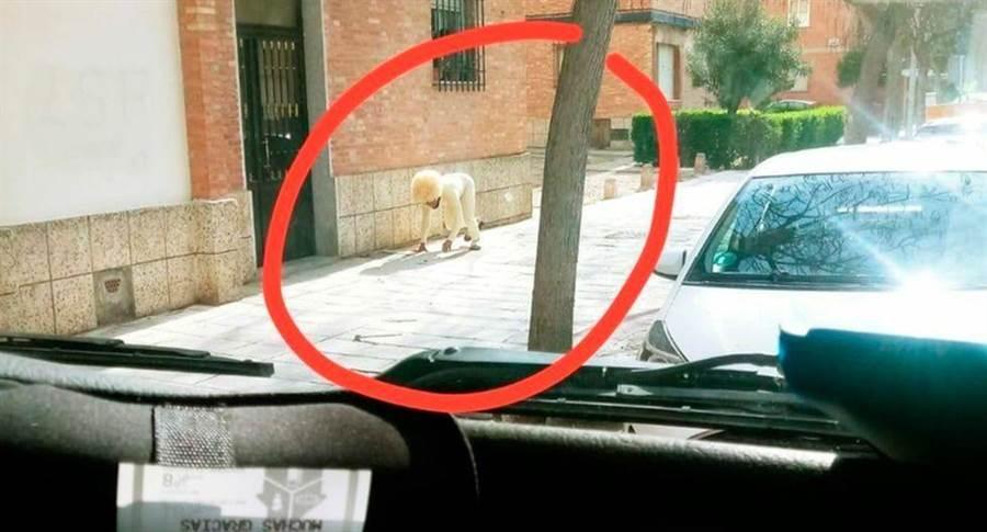 西班牙目前處於國家緊急狀態,人民非必要不得外出,其中溜狗是被允許的行為。街頭竟驚現「人裝狗」,四肢著地逛大街。(照片來源:推特EL TALAVERANO@Talaverano78)