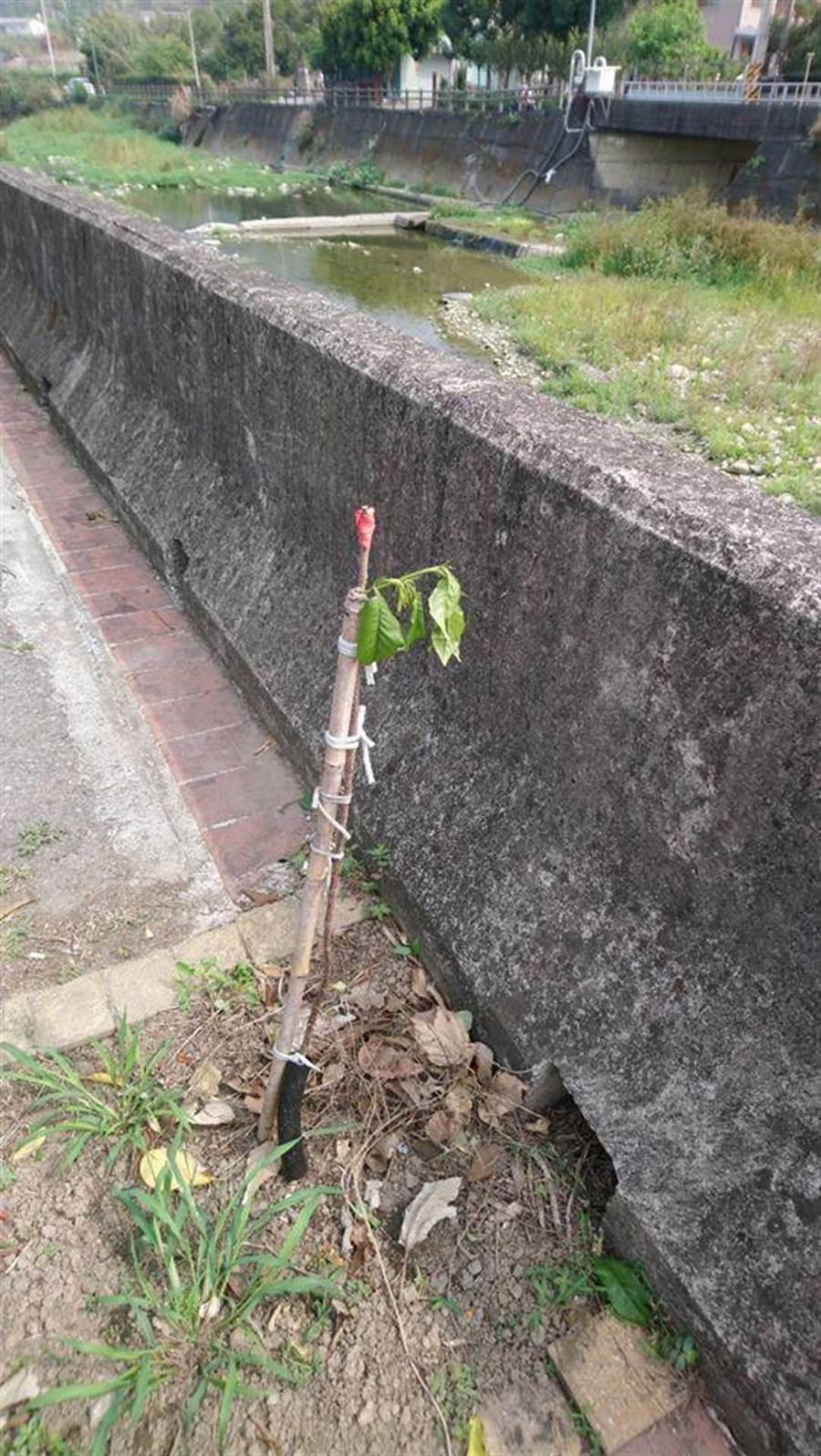 卓蘭老庄社區志工在老庄溪畔嫁接百餘棵櫻花苗木,不料近日卻疑似遭人惡意折斷。(翻攝照片/巫靜婷苗栗傳真)