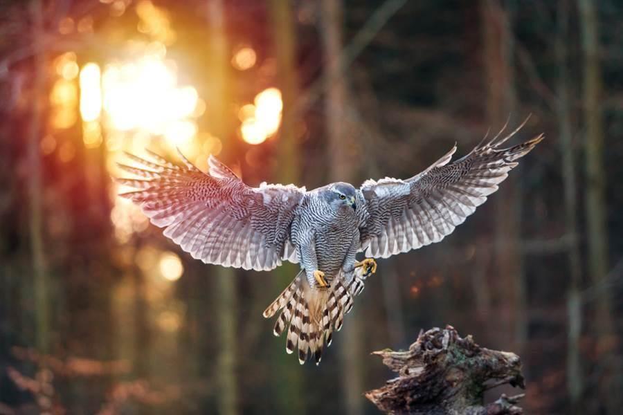 老鷹抓野豬力氣用盡 下一秒變鬧劇(圖片取自/達志影像)
