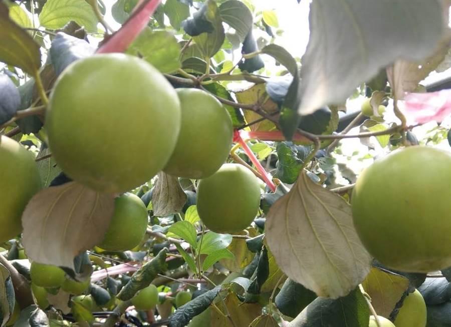 台南楠西區蜜棗外銷至全球多國,珍蜜具有甜柿外型,皮薄多汁又稱「爆漿蜜棗」。(台南市農業局提供/劉秀芬台南傳真)