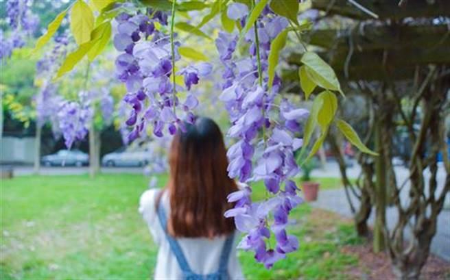 新竹中華大學校園內的紫藤花也漸漸綻開,吸引民眾拍照留念。(圖片取自網路)