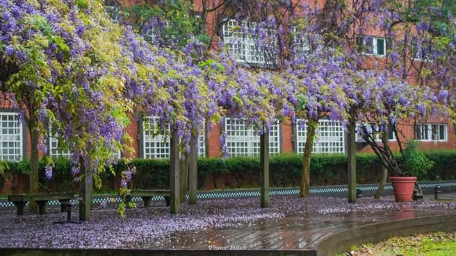 中華大學的紫藤花富有盛名,不僅被列為10大必朝聖校園賞花景點之一,還是許多網帥網美拍照打卡地點。(圖片取自網路)