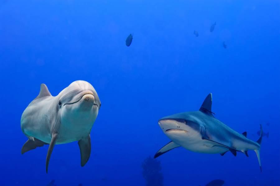 鯊魚不吃海豚?專家還原真實關係(示意圖/ 取自達志影像)