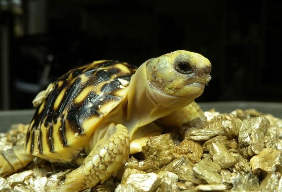 蛋殼修補可提升幼龜孵化率(戴為愚提供)。(台北市立動物園提供)