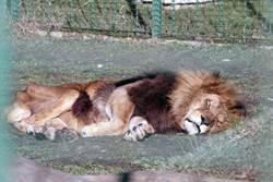 晚年獅子易餓死虎卻不會 真相鼻酸