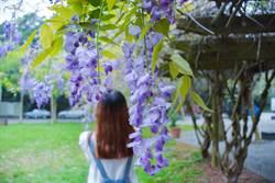 大學校園紫藤花盛開 周末來追浪漫