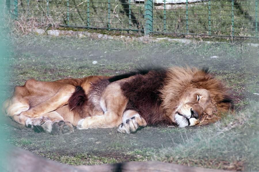 獅子因為生活習性的關係,晚年居然比老虎更容易餓死。(示意圖/ 取自達志影像)