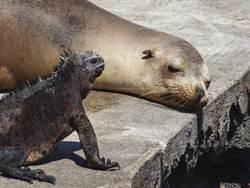 海獅和蜥蜴第一次親密接觸 畫面超震驚