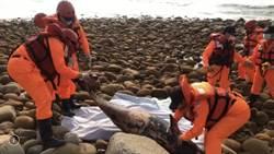 通霄海岸死亡鯨豚 為瀕臨絕種保育類「江豚」!