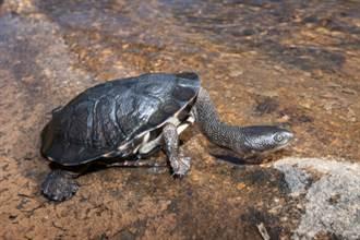 男撿小烏龜回家養 長大後超驚嚇