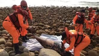苗栗通霄海域發現死江豚 海巡籲保護動物