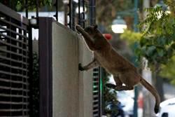 影》獅子逛大街!全球30億人禁足 家園被牠們霸佔