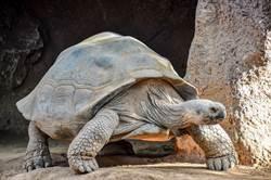 188歲烏龜交配26年無後 醫一看驚呆