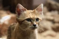 稀有貓咪曝光 長相超萌卻專吃毒蛇