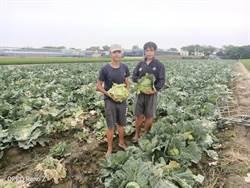 盤商無力收購 下營青農高麗菜開放自採及義賣