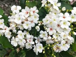 賞花接力 楠西梅嶺「4月雪」油桐花開了
