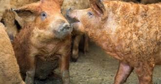 夢幻食材端上桌 國寶級綿羊豬成功問市