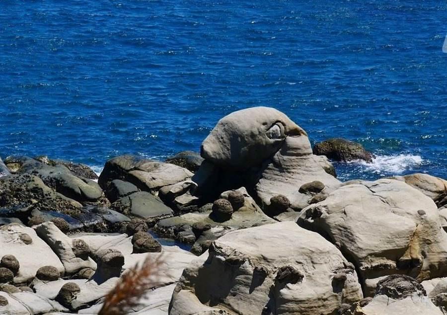 一片還石平台上露出大大園園的頭是可愛的海豹岩。(北觀處提供)