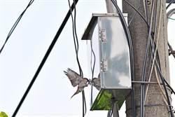 山麻雀撞燈箱鳥友怕受傷 市議員蔡育輝促相關單位改善