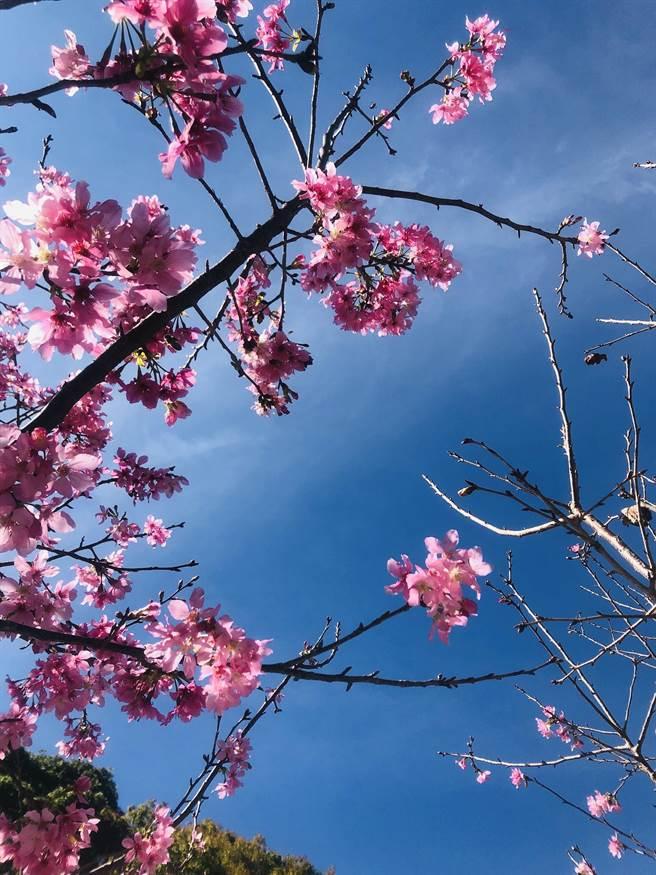 八仙山國家森林遊樂區,櫻花盛開。(東勢林管處提供/陳世宗台中傳真)