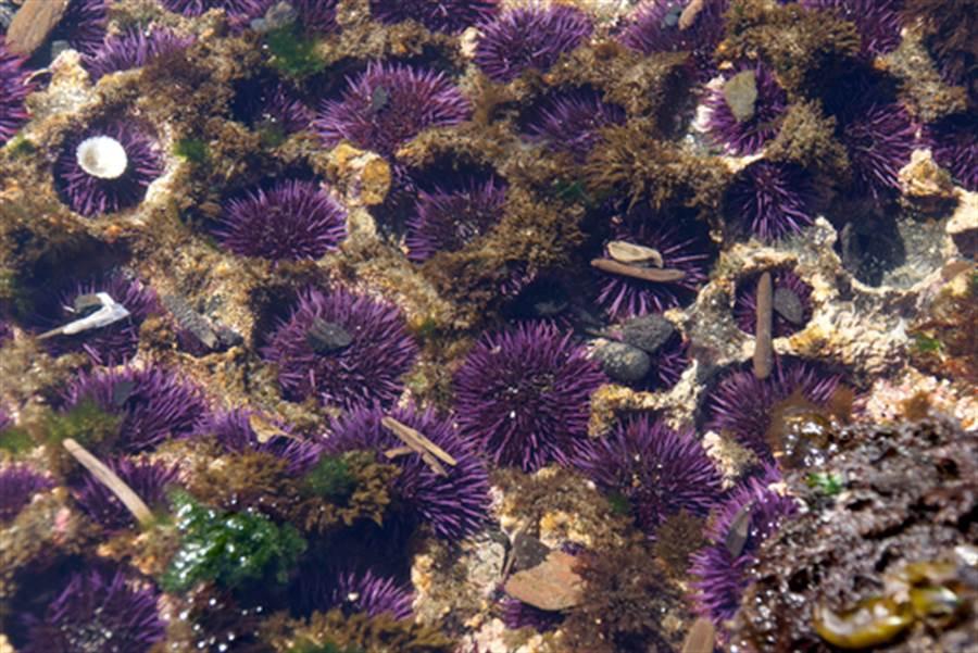 愛吃日本料理?多吃海膽竟可救地球(圖為紫海膽/達志影像)
