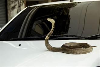 大蛇驚爬擋風玻璃 巨頭狂擺駕駛嚇壞