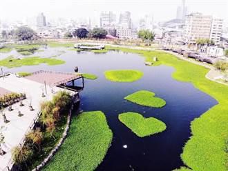 中市帝國糖廠公園星泉湖戀愛了 「愛心水草」在這裡!