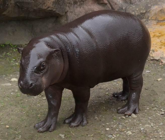 侏儒河馬寶寶「秋祥(雄性)」,即將滿10個月大囉!(台北市立動物園提供)