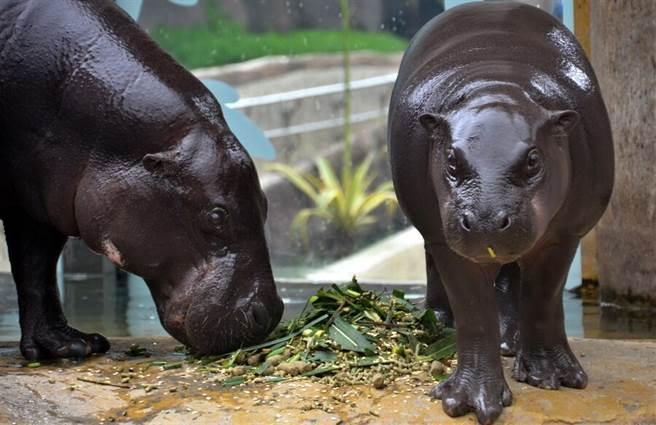 侏儒河馬寶寶和媽媽總是形影不移。(台北市立動物園提供)