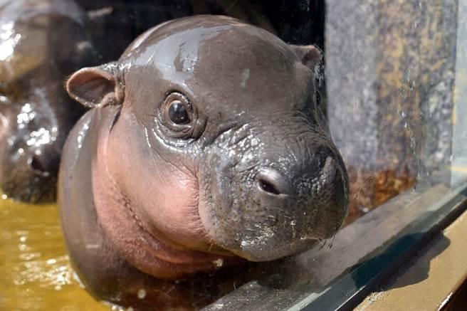 歡迎大家到非洲動物區和侏儒河馬寶寶說聲嗨!(「秋祥」2個月大時)。(台北市立動物園提供)
