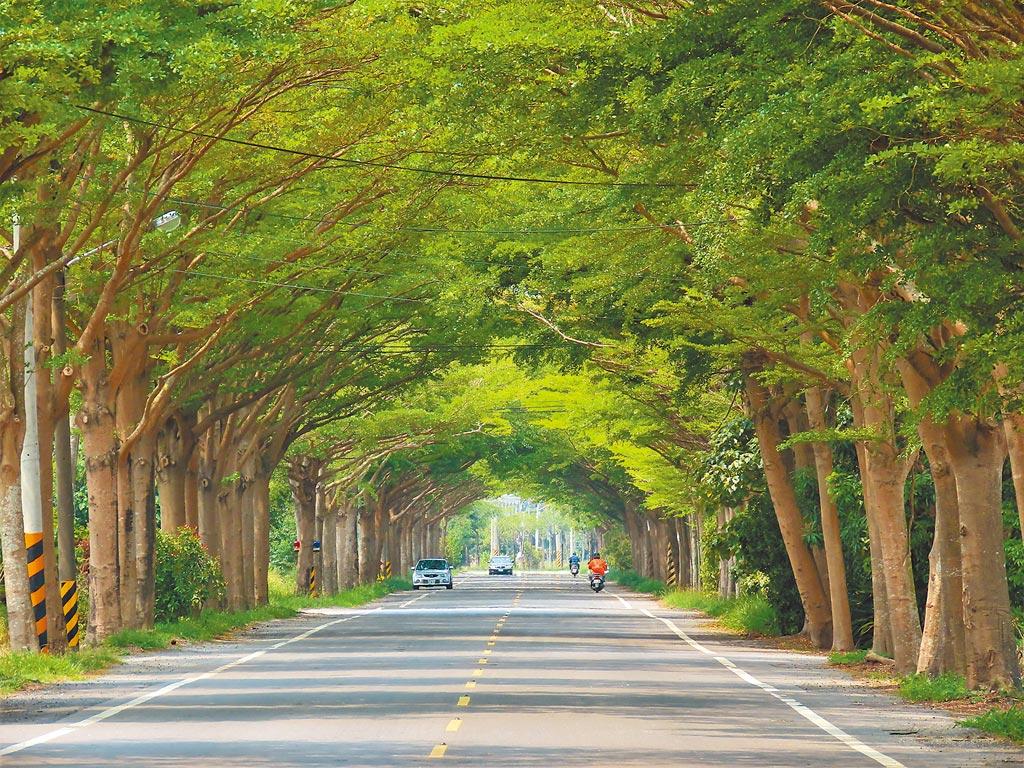 台南下營、學甲交界的174線路段以小葉欖仁做為行道樹,被譽為最美的小葉欖仁綠色隧道,全長約1公里,景致宜人。(莊曜聰攝)