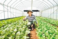 石門農場有機蔬菜 潤餅入菜顧健康