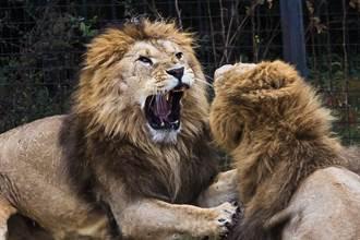 肉食動物為何很少獵食同類?原因太聰明