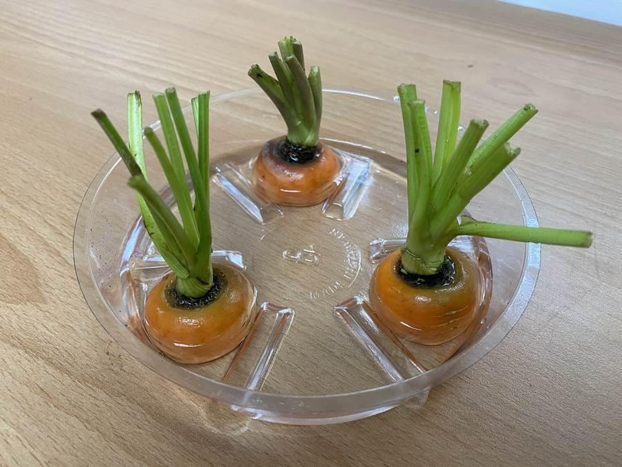將胡蘿蔔頭置入容器中再加點水,光線足夠的狀況下胡蘿蔔會逐漸長出新葉子。(圖取自新北市景觀處官網)