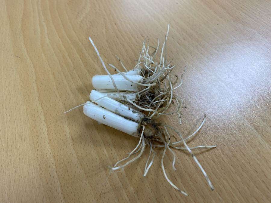 青蔥亦為常見的食材,切下的根部也能夠用來種植。(圖取自新北市景觀處官網)
