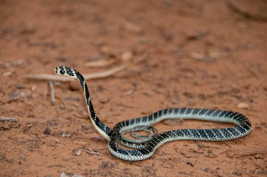 眼鏡蛇和老鼠關同籠 激戰結果意外(示意圖/達志影像)