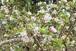 福壽山蘋果花將盛開 滿山白裡透紅好療癒