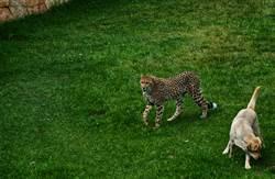 獵豹不會談戀愛 派狗陪伴竟現奇蹟