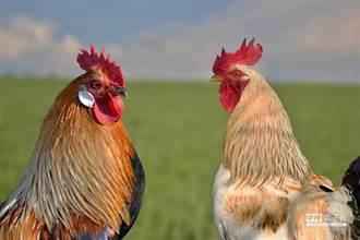 老農吃飯被下毒吐出來 大公雞覓食飯渣命嗚呼