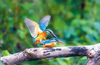 翠鳥嘿咻僅3秒 鳥友驚也太快