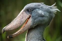 鳥嘴咬爆鱷魚!牠看見人類竟會鞠躬