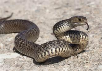 眼鏡蛇吞青蛙 慘遭重擊蛇皮爆開、脊椎斷
