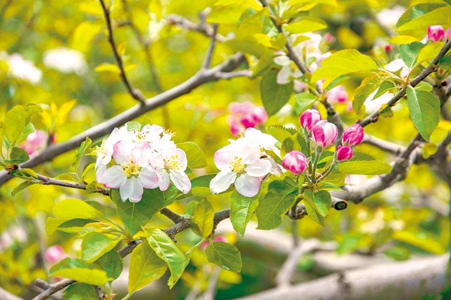 福壽山農場種植上萬棵的蘋果樹,白裡透紅蘋果花散發出淡淡芬芳。(福壽山農場提供/陳淑娥台中傳真)