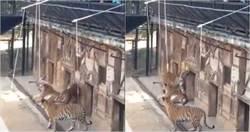 傻眼!雲南動物園竟收費 讓遊客拿杆綁肉「釣老虎」