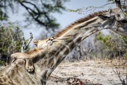 獅群硬上長頸鹿 交纏4h結局意外