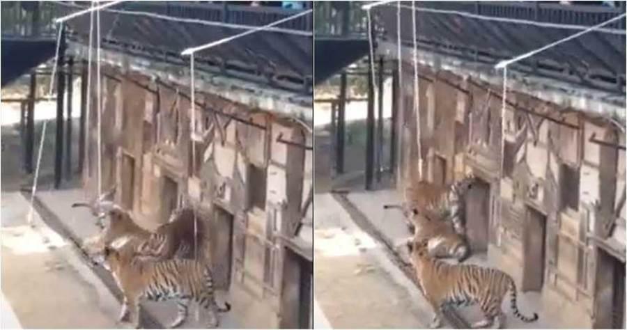 雲南一家動物園,罕見有「釣老虎」這項動物互動體驗,但招來不少批評。(圖/翻攝自YouTube)