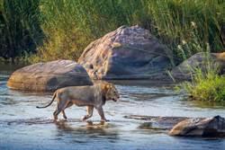 2獅渡河遇巨鱷襲擊 結局出乎意料