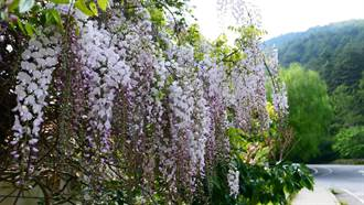 武陵農場白藤花盛開 雪白花瀑超夢幻